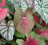 Free Photo - Caladium Leaves
