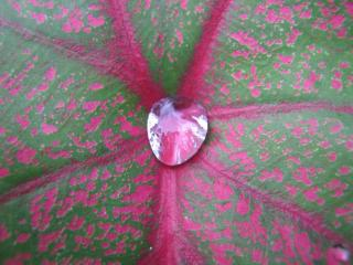 Caladium Leaf with Water Drop Free Photo