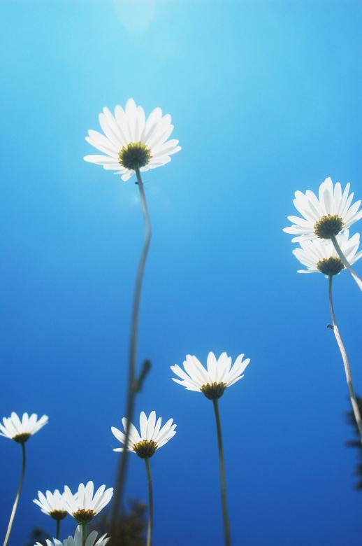 Free Stock Photo of Marguerites Created by Cofaru Alexandru