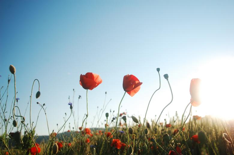 Free Stock Photo of Red poppy meadow Created by Cofaru Alexandru