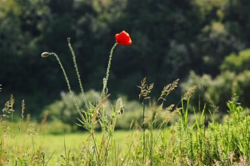 Red poppy - Free Stock Photo