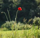 Free Photo - Red poppy