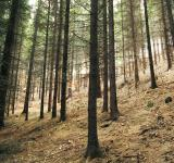 Free Photo - Fir Trees Forest