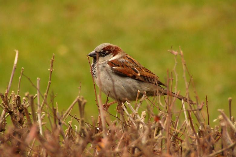 Free Stock Photo of House Sparrow Created by Cofaru Alexandru