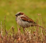 Free Photo - House Sparrow