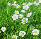 Free Photo - Daisy Meadow