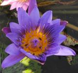 Free Photo - Lotus flower