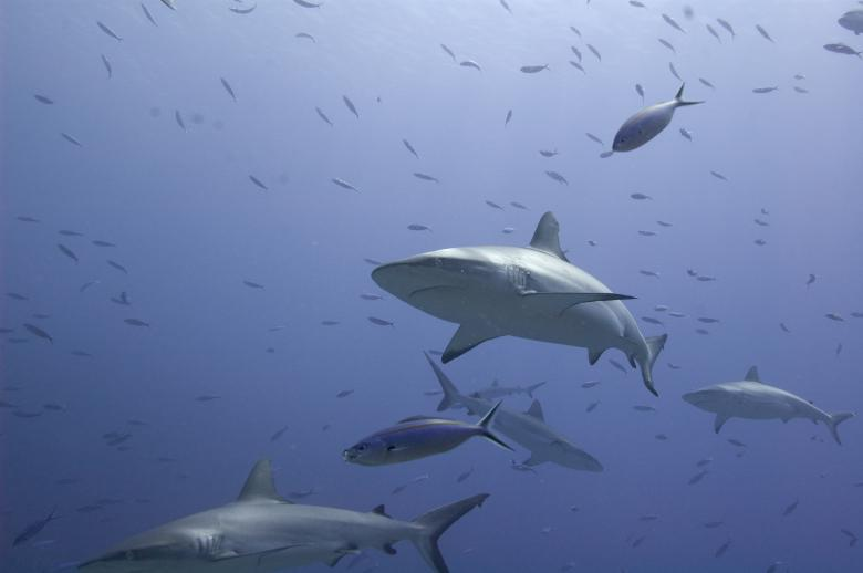 Free Stock Photo of Sharks 1 Created by Ana Martin