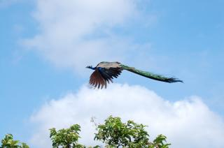 Flying Peacock Free Photo