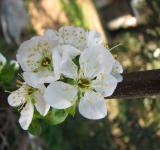 Free Photo - Plum flower blossom