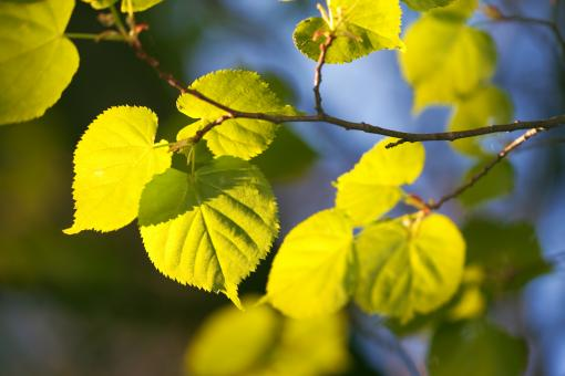 spring leaves  - Free Stock Photo