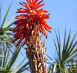 Free Photo - Aloe Vera flower