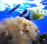 Free Photo - Foxface rabbit fish