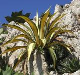 Free Photo - Yellow Century Plant