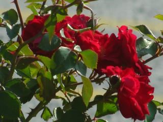 Red flowers  Free Photo