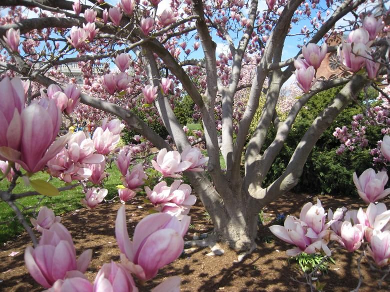 Magnolia Tree Free Stock Photo By Rs On Stockvaultnet