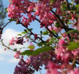 Free Photo - Pink Spring Blossoms