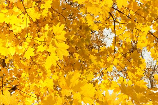 Yellow Leaves - Free Stock Photo