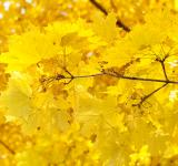 Free Photo - Yellow Leaves
