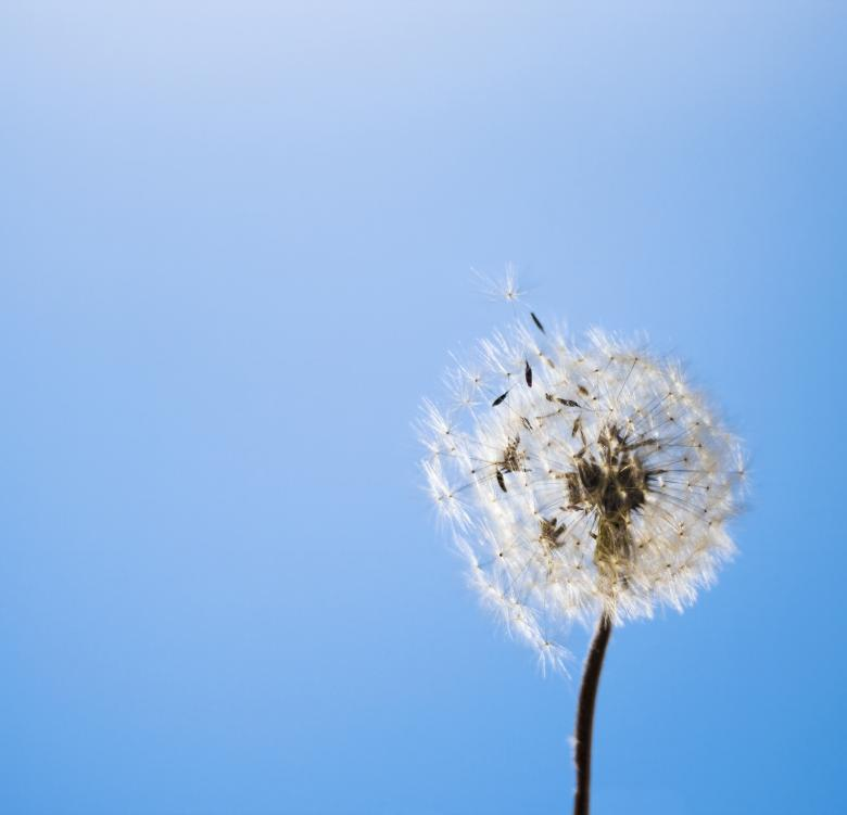 Free Stock Photo of dandelion Created by 2happy