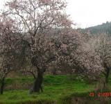 Free Photo - Almond tree
