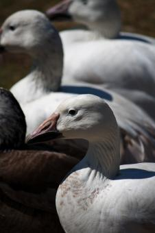 White ducks - Free Stock Photo