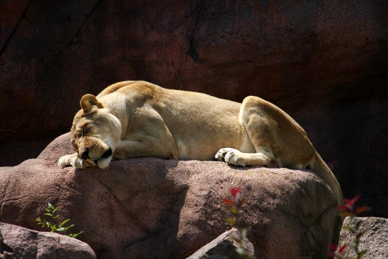 Free Stock Photo of Lioness Created by Danny Ouellet