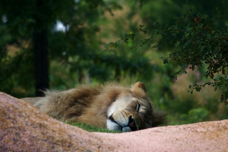Free Stock Photo of Sleeping Lion Created by Danny Ouellet