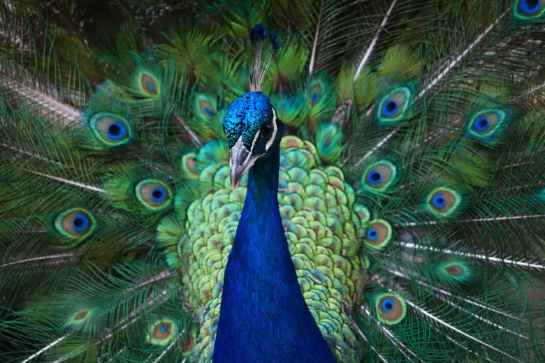 Free Stock Photo of Peacock Created by Danny Ouellet