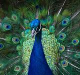 Peacock - Free Stock Photo