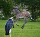 Free Photo - Jumping Zebra