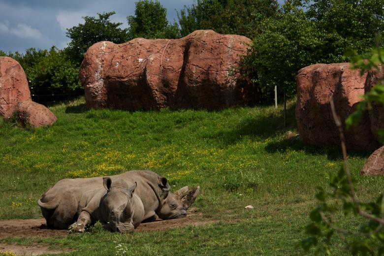 Free Stock Photo of Rhinos Created by Danny Ouellet