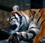 Free Photo - Sleeping Tiger