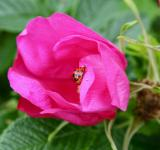 Free Photo - Ladybug on Pink Flower