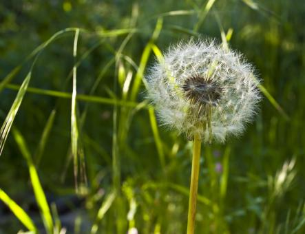 Spring Dandelion - Free Stock Photo