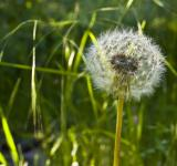 Free Photo - Spring Dandelion