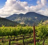 Free Photo - Calistoga Vineyard