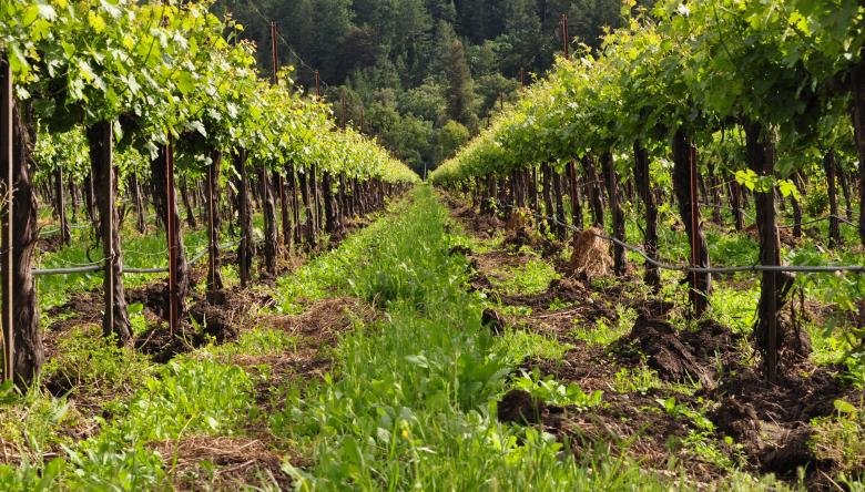 Free Stock Photo of Vineyard Row Created by Rachael Towne