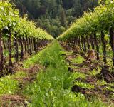 Free Photo - Vineyard Row