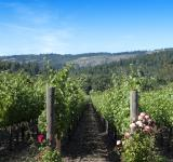 Free Photo - Vineyard and Roses