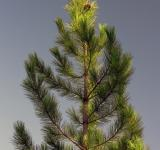 Free Photo - Fir Tree