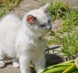 Free Photo - Ragdoll Kitten Outside