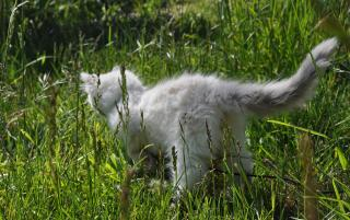 Ragdoll Kitten in Grass Free Photo