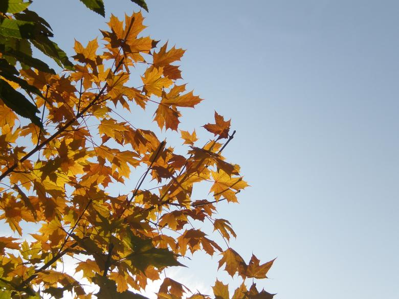 Free Stock Photo of Yellow maple leaves Created by rudy bagozzi