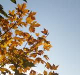 Free Photo - Yellow maple leaves