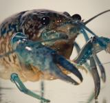 Free Photo - Crayfish