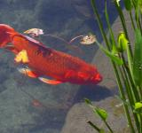 Free Photo - Red Koi Fish