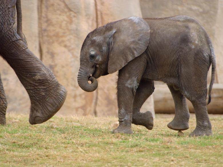 Free Stock Photo of Small elephant Created by gilmartin owen