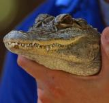 Free Photo - Gator head