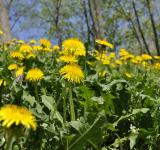 Free Photo - Yellow Dandelions